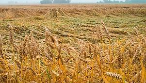 Зърнени култури
