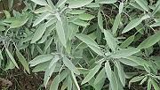 Habitat of the garden sage (Salvia officinalis)